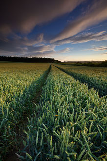 Stunning Wheat field Field in Summer at Sunset