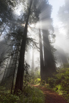 Sunlight streaming through early morning mist in redwood forest, Redwood National Park