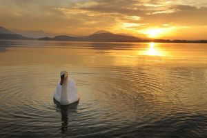 Sunset on Lake Zug with mute swan -Cygnus olor-, Canton of Zug, Central Switzerland