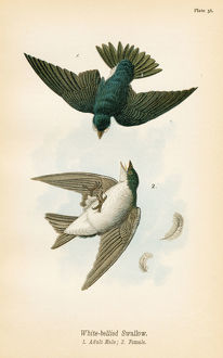 swallow bird lithograph 1890