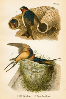 Swallows bird lithograph 1890