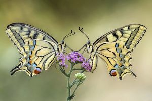 Two swallowtail butterflies on a flower