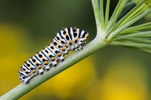 wilfried martin nature photography/swallowtail caterpillar papilio machaon dill