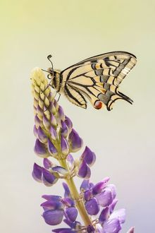 wilfried martin nature photography/swallowtail old world swallowtail papilio machaon