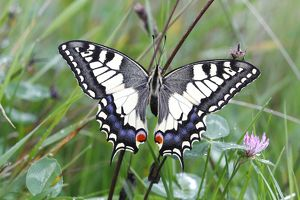 Swallowtail (Papilio machaon), sitting in a meadow