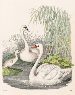 Swans illustration 1853