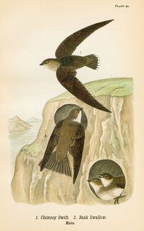 Swift and Bank Swallow bird lithograph 1890