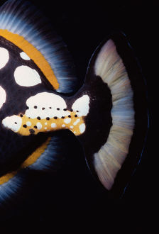Tail of Clown Triggerfish