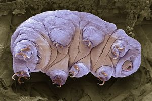 collections/science photo library sem scanning electron microscope inspired art/tardigrade sem