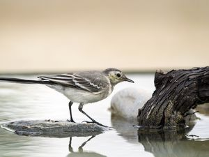 Tawny Pipit (Anthus campestris),drinking inside the water