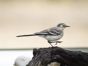Tawny Pipit (Anthus campestris), Walking on a trunk