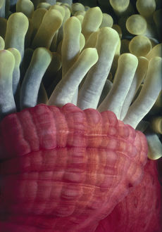 Tentacles of Sea Anemone