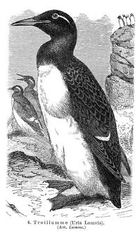 Thick-billed murre engraving 1895