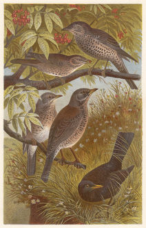 Thrushes (Turdidae), lithograph, published in 1882