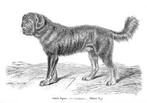 Tibetan Mastiff engraving 1803