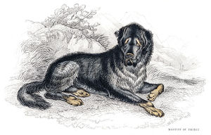Tibetan Mastiff engraving 1840