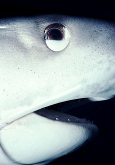 Tiger shark (Galeocerdo cuvier) with nictating membrane half closed