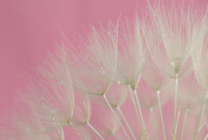 Tragopogon (big dandelion) Pink Background
