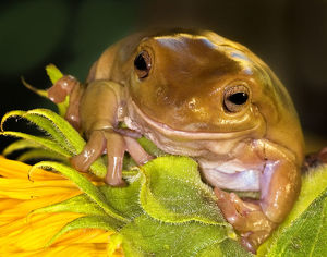 nature wildlife/tree frog sunflower