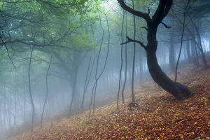 Trees in the mist. English Peak District. UK. Europe