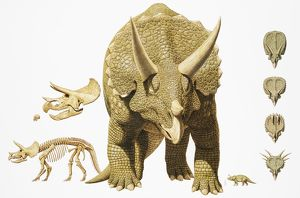 Triceratops, dinosaur, large and, skeleton, skull, and series of head illustrations