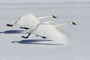 Trumpeter Swans (Cygnus buccinator) taking flight over snow, Yellowstone National Park