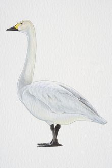 Tundra or Bewick's Swan (Cygnus columbianus), with yellow-black bill and black feet