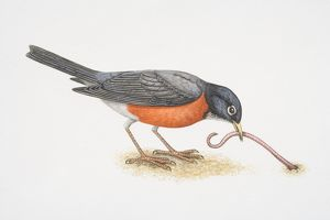 Turdus migratorius, American Robin pulling an earthworm out of the ground with its beak