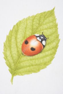 Two-Spotted Lady Beetle, Two-spotted Ladybird (Adalia bipunctata), on green leaf