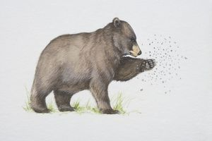 collections/dorling kindersley prints/ursus americanus american black bear trying catch