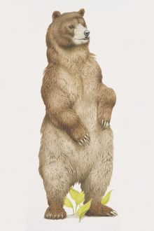 Ursus arctos horribilis, Grizzly Bear standing on its back legs.