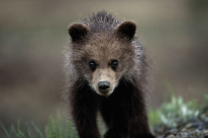 BROWN (GRIZZLY) BEAR SPRING CUB
