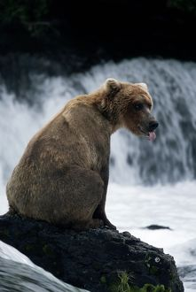 BROWN (GRIZZLY) BEAR BY FALLS
