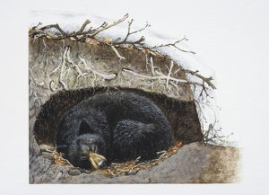 Ursus thibetanus, sleeping Asiatic Black Bear curled up in its winter den