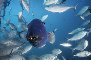 Front on view of an Australian blue groper among a large school of jacks, Neptune Islands