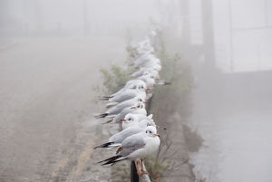 waiting gulls