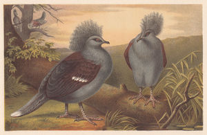 Western crowned pigeon (Goura cristata), lithograph, published in 1882