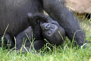 Western Lowland Gorilla -Gorilla gorilla gorilla-, infant, native to Africa, captive