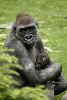 Western lowland gorilla (Gorilla gorilla gorilla) with a baby, in the zoo