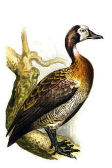 The white-faced whistling duck (Dendrocygna viduata)
