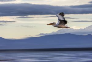 White Pelican -Pelecanus onocrotalus- in flight, Lake Nakuru National Park, Kenya