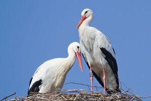 wilfried martin nature photography/white storks ciconia ciconia pair nest north hesse