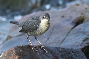 wilfried martin nature photography/white throated dipper cinclus cinclus young bird