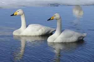 Two Whooper Swans -Cygnus cygnus-, swimming side by side, Kussharo Lake, Kawayu Onsen
