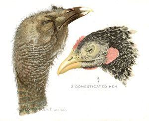 Wild turkey and hen lithograph 1897