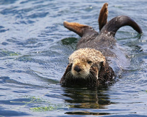 <b>Sea Otter</b><br>Selection of 21 items