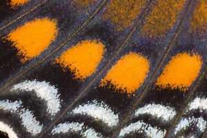 Under wing Close-up Red Spotted Purple butterfly