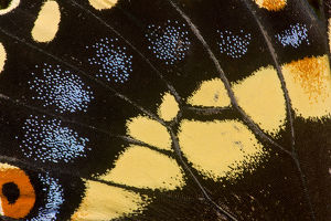 Wing Detail of Papilio polyxenes butterfly