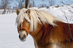 Winter Belgian Horse