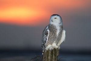 Snowy owl (Bubo scandiacus) hunting at sunset in Canada